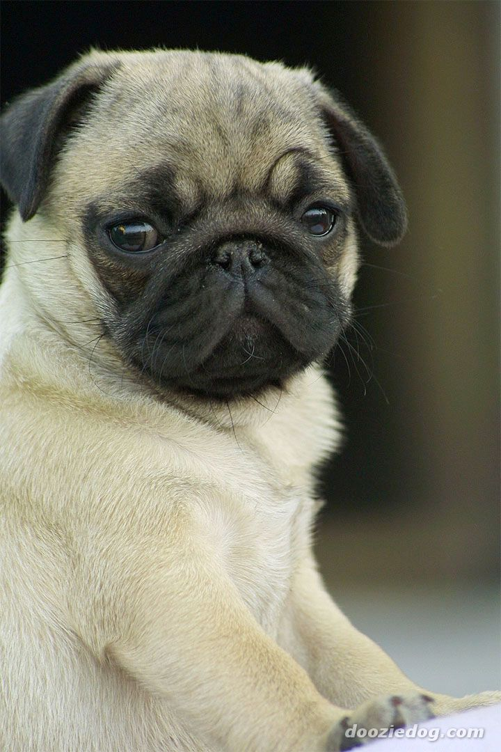 pics of pug puppies did someone say pug nose this guy takes offense to that 8943