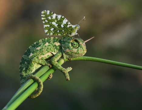 Baby_Chameleon_Mehmet_Karaca_5